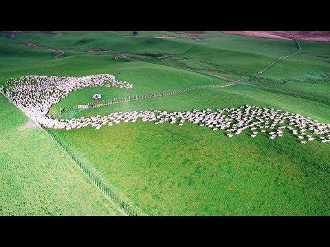 Luftaufnahmen aus Neuseeland - Die Schafe sind auf de ...