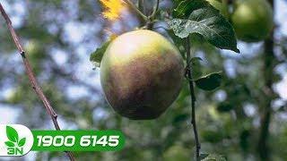 Trồng trọt | Bệnh thối thân, thối rế, thối quả trên cây chanh leo