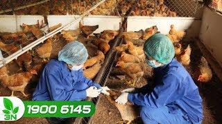 Chăn nuôi gà | Quy trình tiêm vacxin cho gà