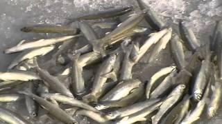 Зимняя рыбалка на реке Сучан 15.01.2015