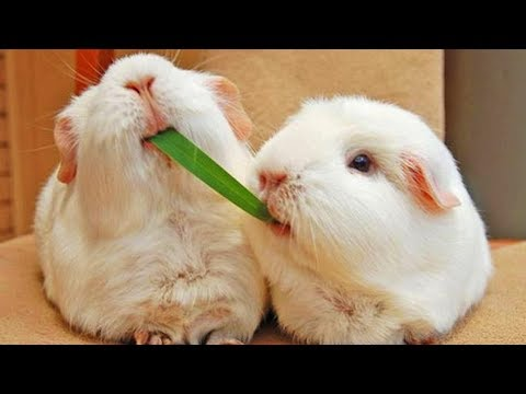 Guinea Pigs 😍 Funny And Cute Guinea Pigs [Funny Pets]
