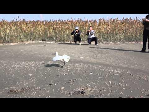 【台江】1030103 T59黑面琵鷺野放 - 台江國家公園