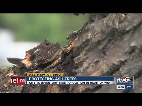 City looking to help ash tree population