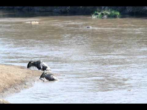 Wildebeests - Some African Wildebeests getting chased down and eaten by some crocodiles. I happen to see this first hand in Kenya Africa.