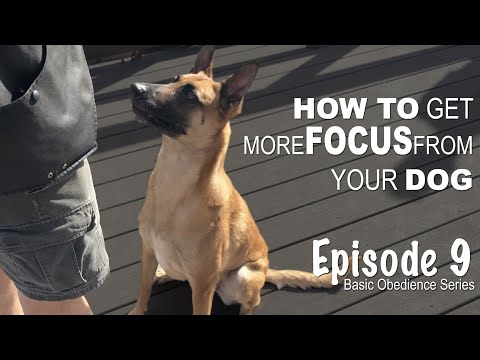 How to get more FOCUS from your dog. Episode 9
