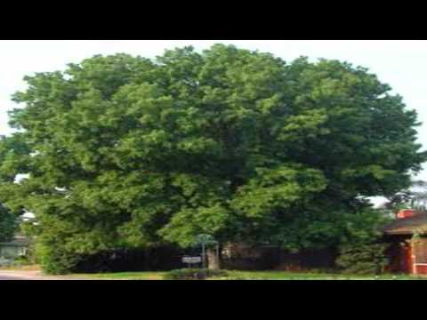 Silver Maple Trees for sale $3.25 at Tn Online Tree Nursery