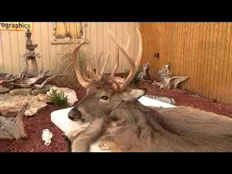 Mo. man harvests 22-point doe!!: Dustin Hodges reports