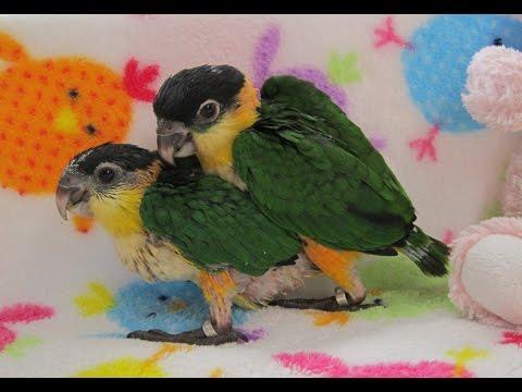 7 week old Baby Black Headed Caique Parrot Sisters