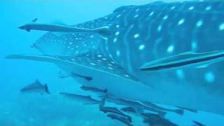 Whale Sharks At Sail Rock Koh Tao Thailand