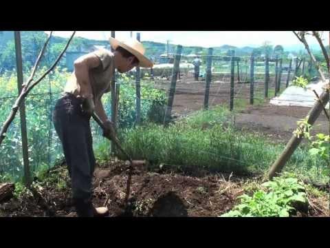 菜園だより120505畝準備・サトイモ植付け