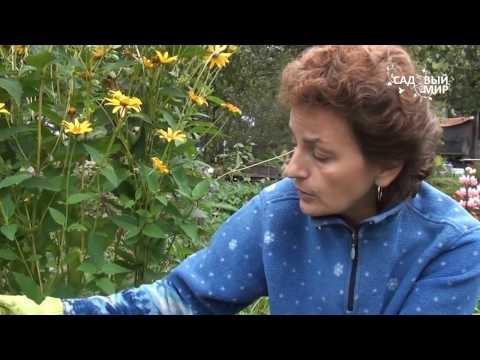 Как собирать и хранить луковицы гладиолуса
