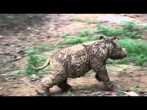 Rare footage of the highly endangered small, long haired Sumatran Rhinoceros and her calf.