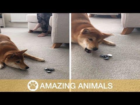 Koiran hauska reaktio sormihyrrään – Shiba Inu Hates Fidget Spinner