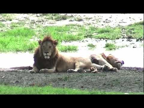 Safari in the Ngorongoro (Tanzania)
