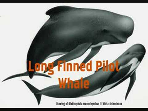 Dolphin Species Song
