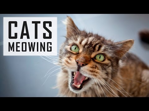 10 CATS MEOWING | Make Your Cat Or Dog Go Crazy! HD Sound Effect