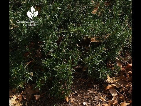 how to replant rosemary plant