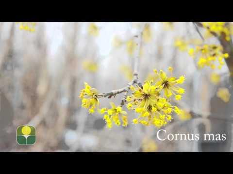 cornus mas – caratteristiche