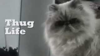 Gato malo :: Thug Life
