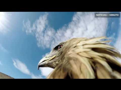 Incrível vídeo mostra águia real caçando raposa em deserto