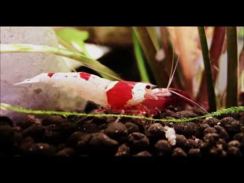 Cherry and Crystal Red Shrimp in 1080 HD - Click info below for Tips on Caring and Breeding (видео)