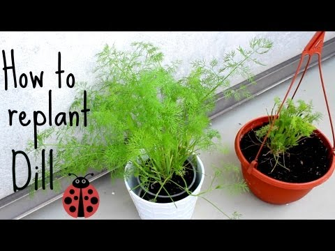how to replant herbs