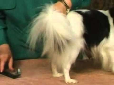 Dog Grooming – Ways to Groom a Papillon's Coat
