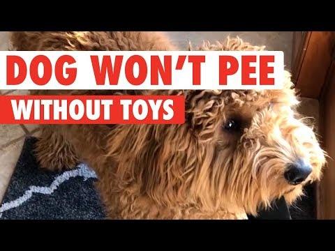 Tämä koira ei lähde ulos pissalle ilman lelua
