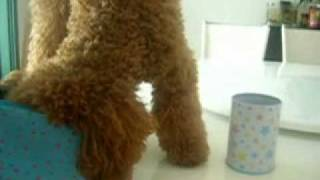 Dog Training...Dog Tricks ... Toy Poodle Mo Mo 2009