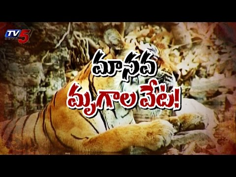 Thieves Hunting For Tigers at Dornala : TV5 News
