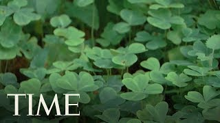 St. Patrick's Day: Here's How The Three-Leaf Clove Clover Became A Symbol Of All Things Irish | TIME