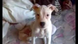 Download Lagu 8 week old pitbull puppy playing Mp3