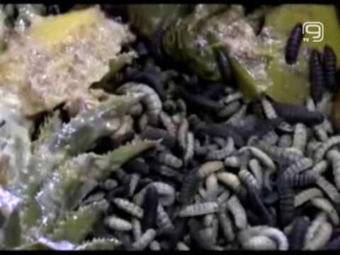 Зашто вештачки узгајати муве?