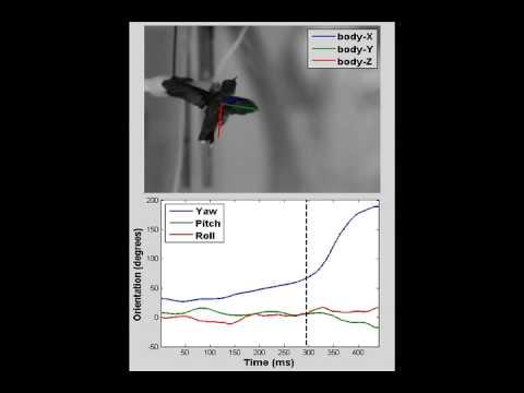 Luftakrobaten der Natur-  Fluggeheimnisse der Kolibris