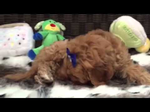 Cavapoo puppy, such a sweetheart!