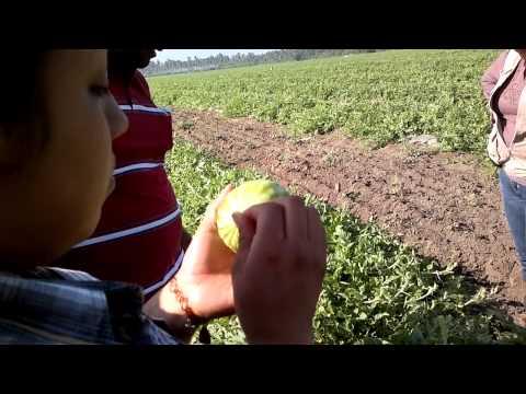 siembra de sandia - 2013-02-13 Cultivo de Sandía en Tecomán, Colima.