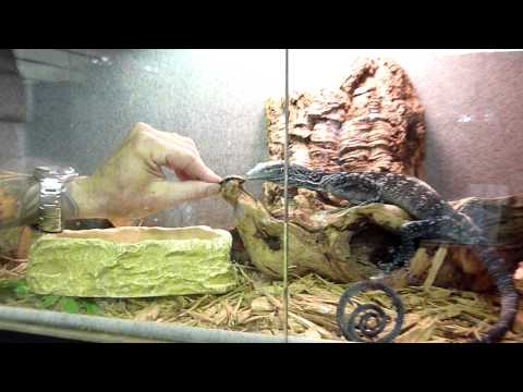 Feeding Time For Blue Tree Monitor
