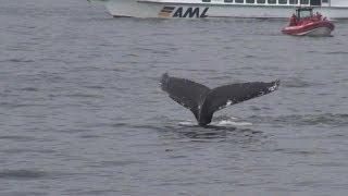 Saint-Laurent (QC) Canada  city images : Baleines au Canada dans le Saint-Laurent