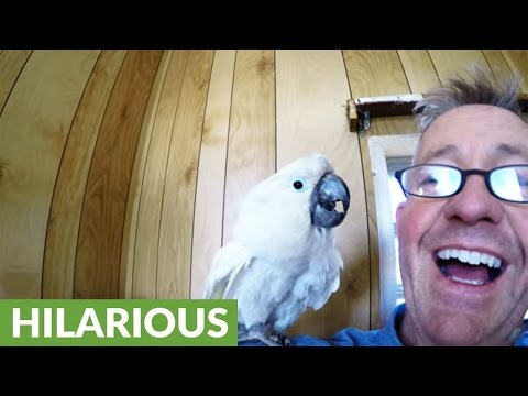 Curious cockatoo greets people with French accent