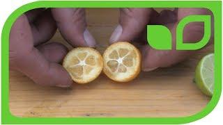 Runde Kumquats: Ernten und degustieren