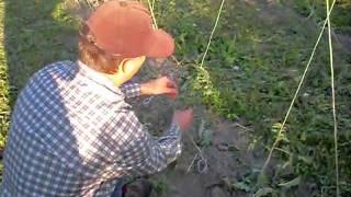Подвязка помидор практика