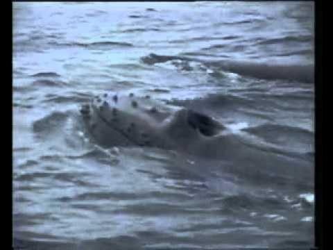 Hosszúszárnyú bálnák vonulásának kísérése – 2 perc – 2009. máj. 29.