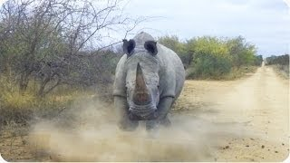 Rhino Attacks Car