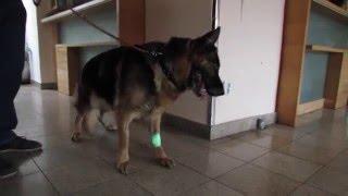 Operace mozku psa | fenka Aryša