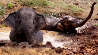Video The Elephant That Didn't Want To Get Out Of The Mud MP3, 3GP, MP4, WEBM, AVI, FLV Juli 2018