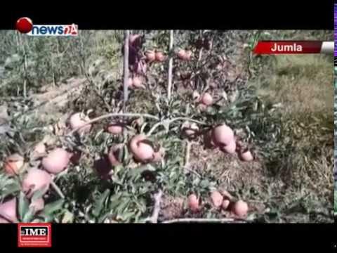 (जुम्लामा फूजी स्याउको उत्पादन बढ्दै - NEWS24 TV - Duration: 102 seconds.)
