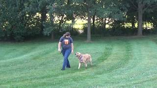 Lexi Training a Golden Retriever Off Leash