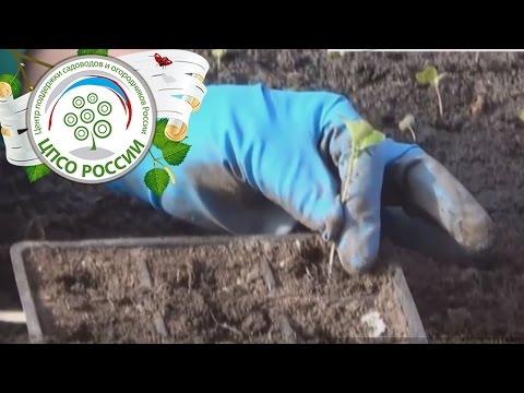 Как пикировать капусту. Пикировка сеянцев капусты для рассады