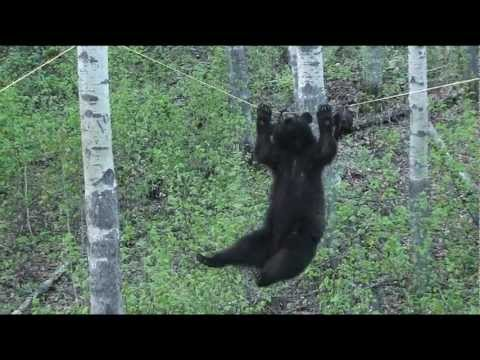 Hunters narrate a black bear's terrible decision to brave a tightrope