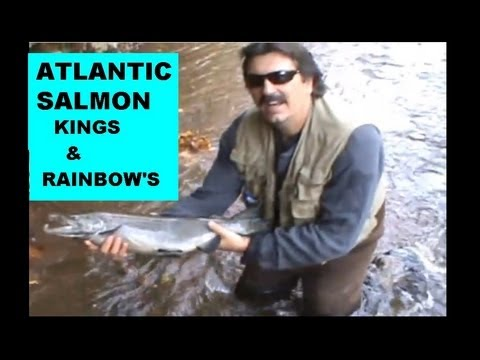 ATLANTIC SALMON ,KINGS AND RAINBOWS on the OAK ORCHARD RIVER